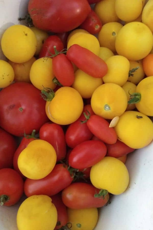 A mix of red, color, and yellow tomatoes of different sizes and shapes.