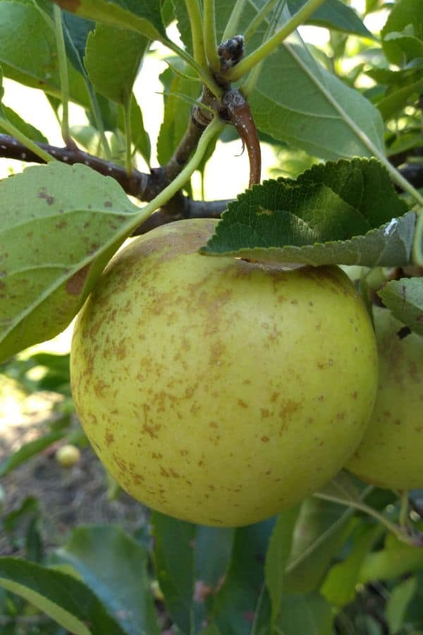 A single Golden Delicious apple hanging in a tree