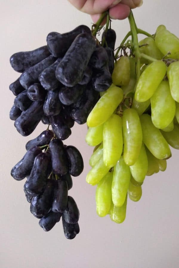 On the left a bunch of black moon drops grapes and on the right a bunch of green tear drops grapes.