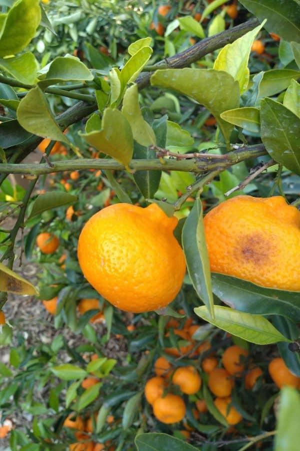 Kishu mandarins in a tree, ready to be picked.