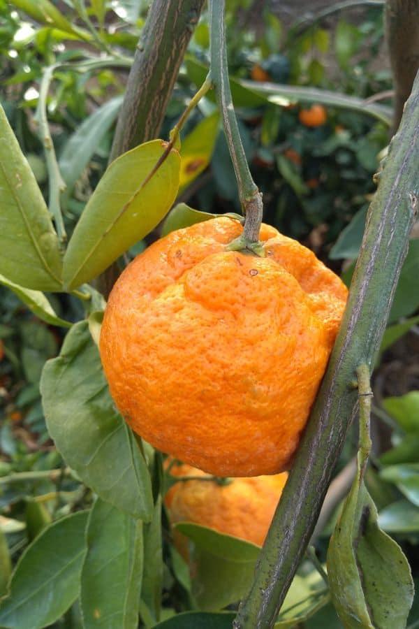 A Satsuma mandarin growing in a tree.