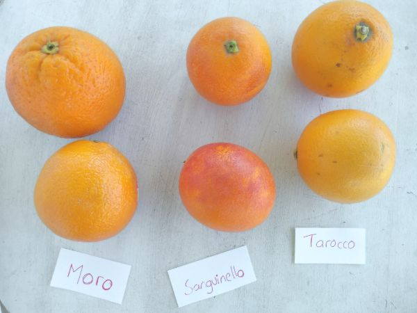 3 different types of blood oranges on a white wood board. From left to right Moro, Sanguinelo, and Tarocco.