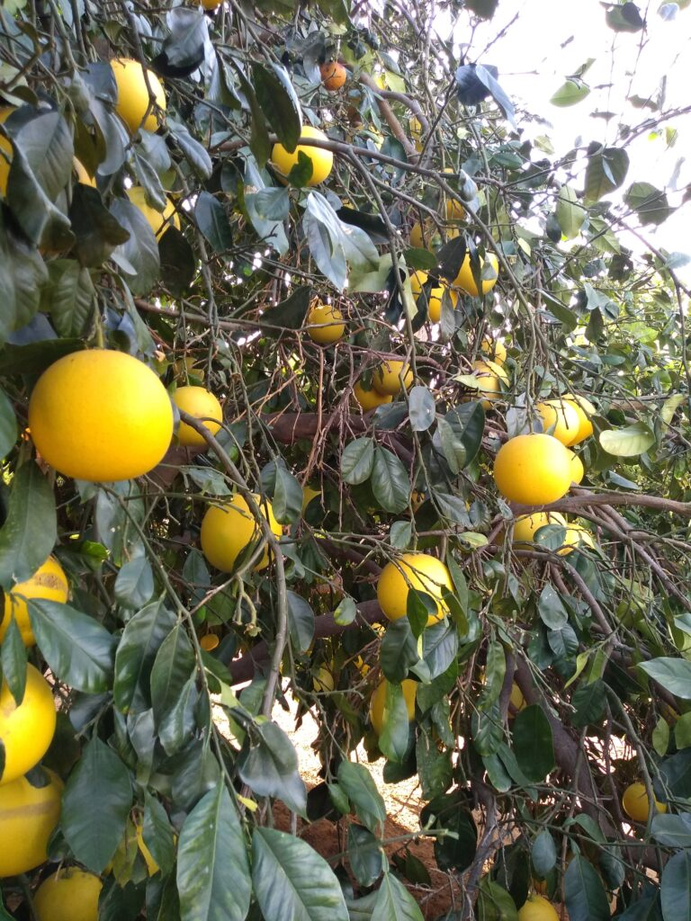 Several Pomelos hanging in a tree with green leaves