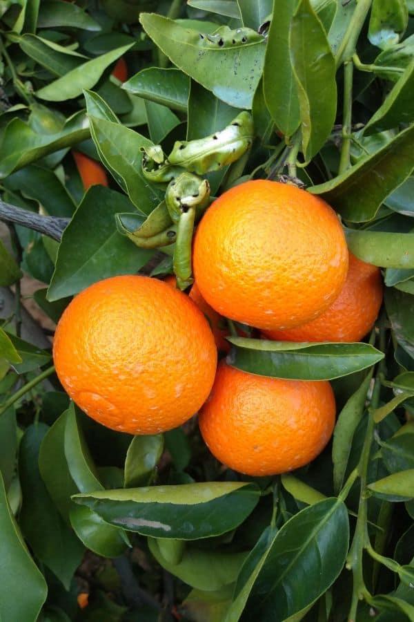 Orange Page mandarins hanging on a tree in California