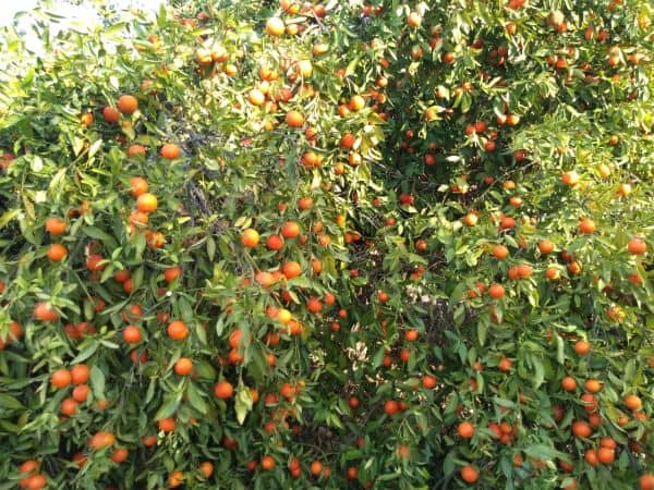 A tree that is full of ripe Page mandarins ready to be harvested.