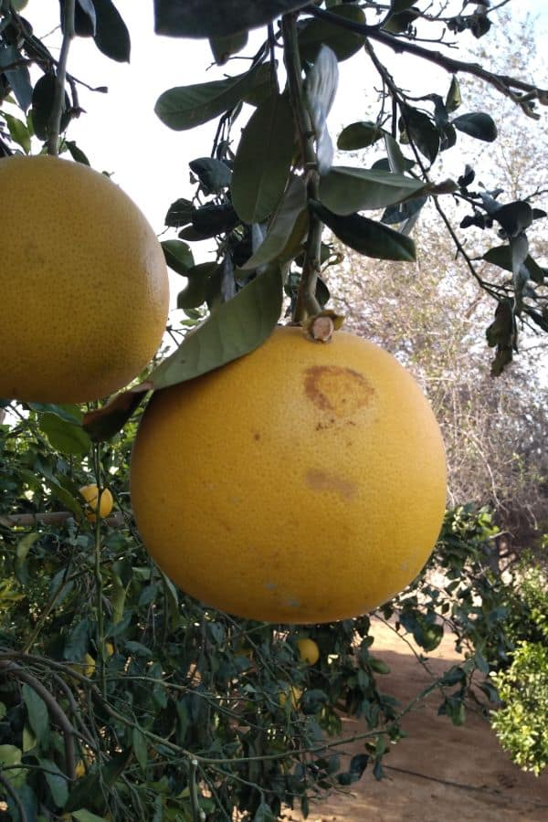 Two Pomelos hanging in a tree with green leaves