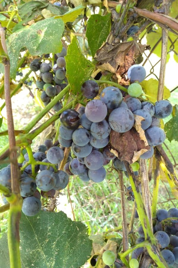 A bunch of ripe concord grapes still attached to the vine.