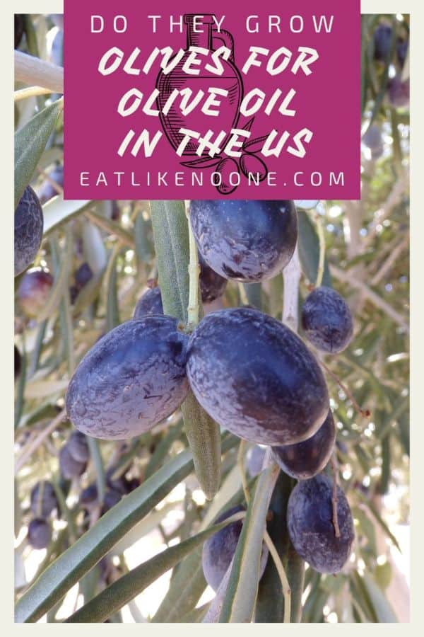 """A tree full of blue/black olives with the words """"Do They Grow Olives for Olive Oil in the US"""" in a maroon colored box at the top."""