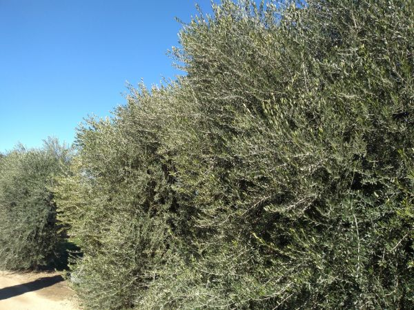 Two large olive oil trees with a bright blue sky in the background
