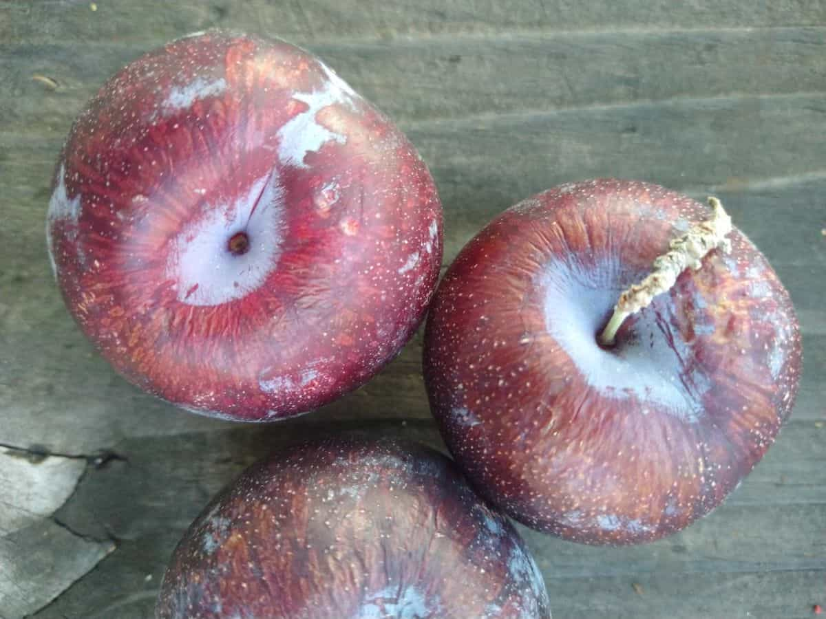 3 dark colored (black) pluots sitting on a wood picnic table. The tops of the fruit as beginning to wrinkle.