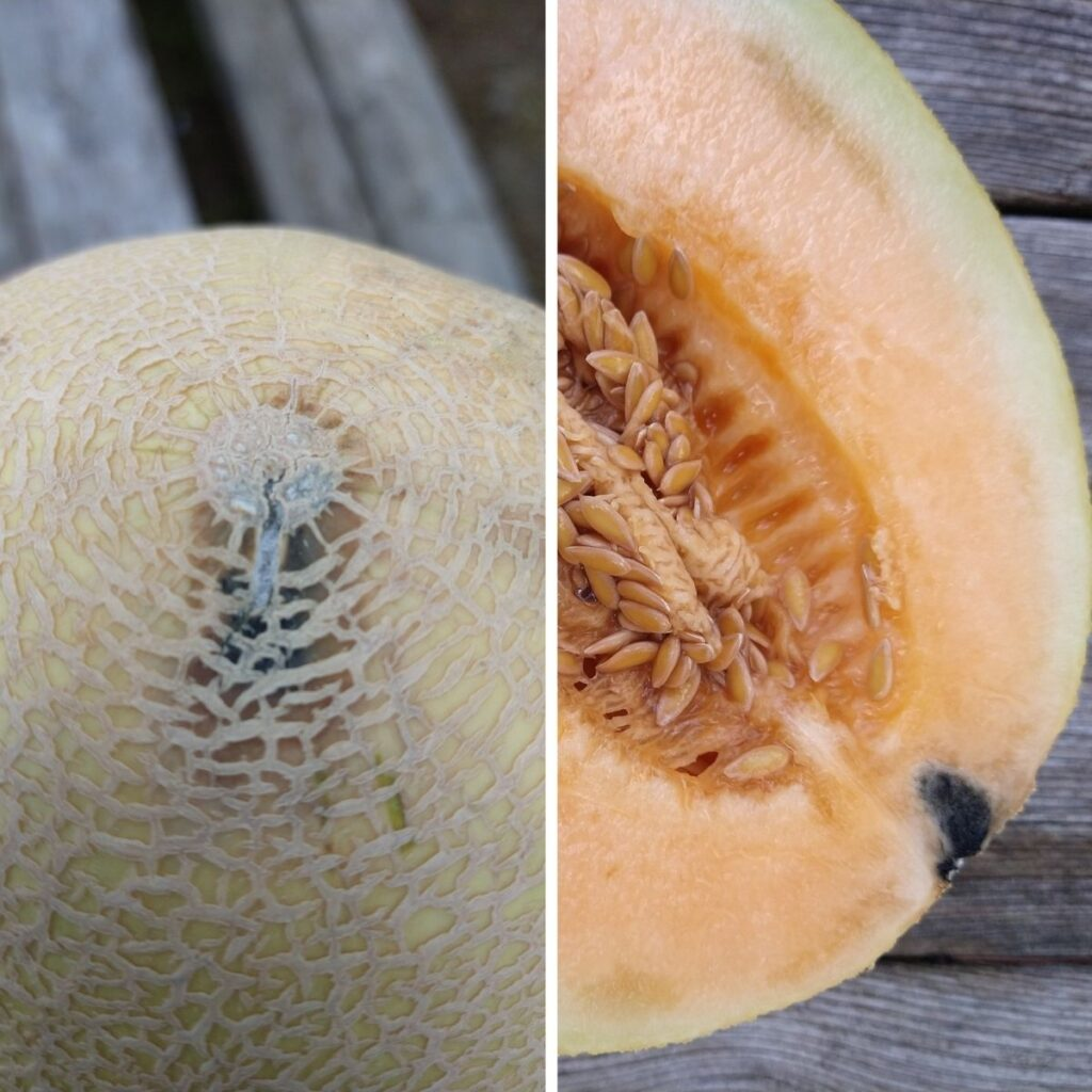 A divided image with the picture on the left showing the bottom of a Sugar Kiss melon that has a darkened spot and the picture on the right showing a black spot near the rind of the fruit. The rest of the melon is unharmed.
