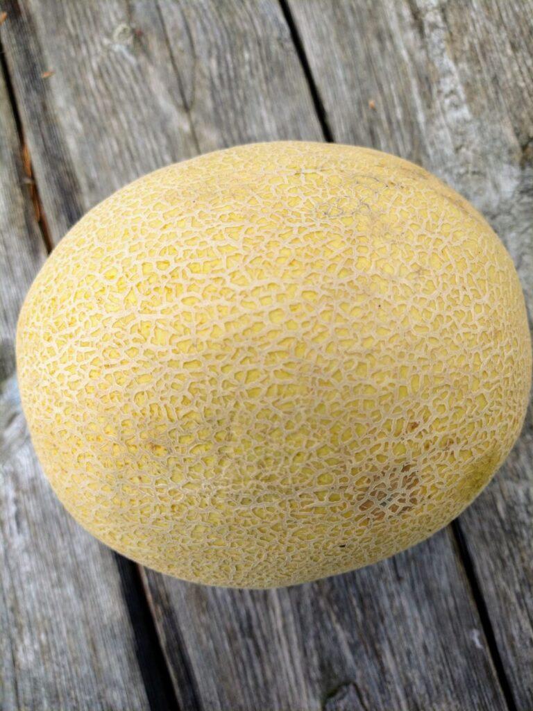A singe, whole Sugar Kiss melon sitting on a wood picnic table.