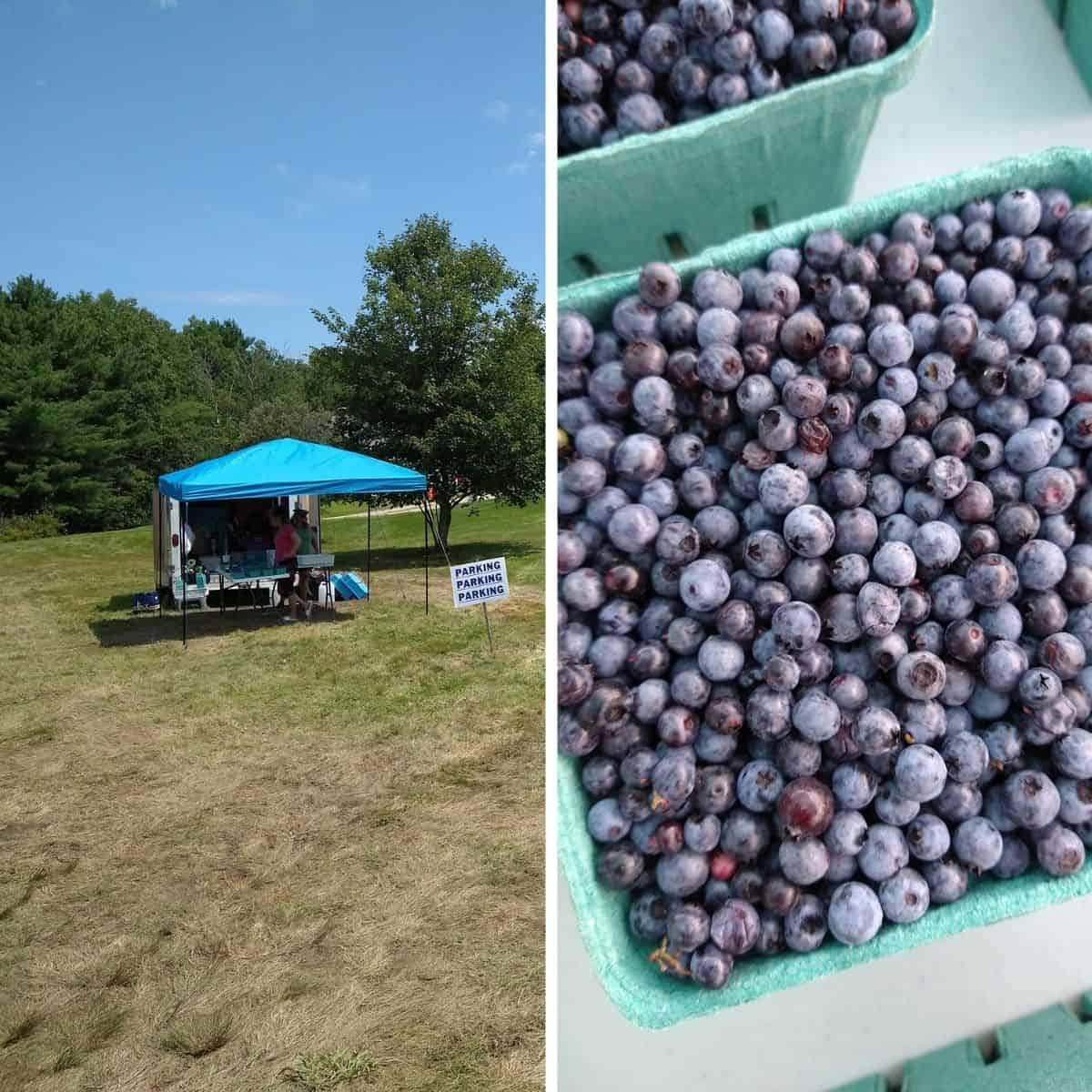 A collage featuring a road side stand selling blueberries in a empty lot on the left and a quart of wild blueberries on a table on the right.