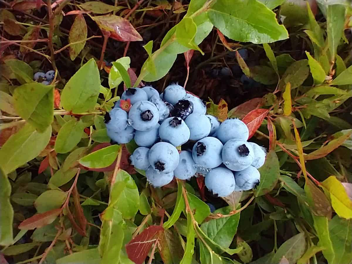 A close up picture of a bunch of wild blueberries that are ripe to be picked. You can see green and red leaves on the plant.