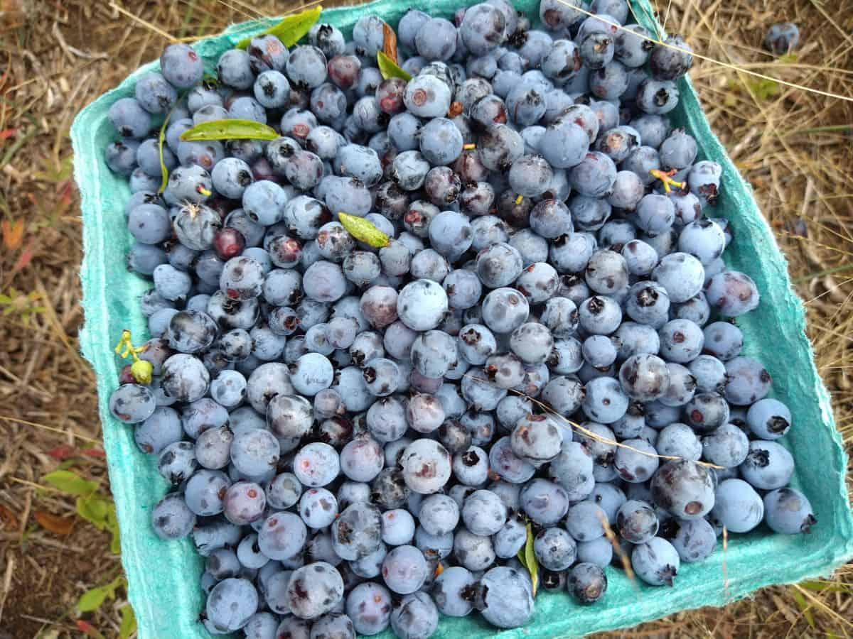 A blue-green quart sized container filled with wild Maine blueberries freshly picked from the field. The container is sitting on the ground in the field.