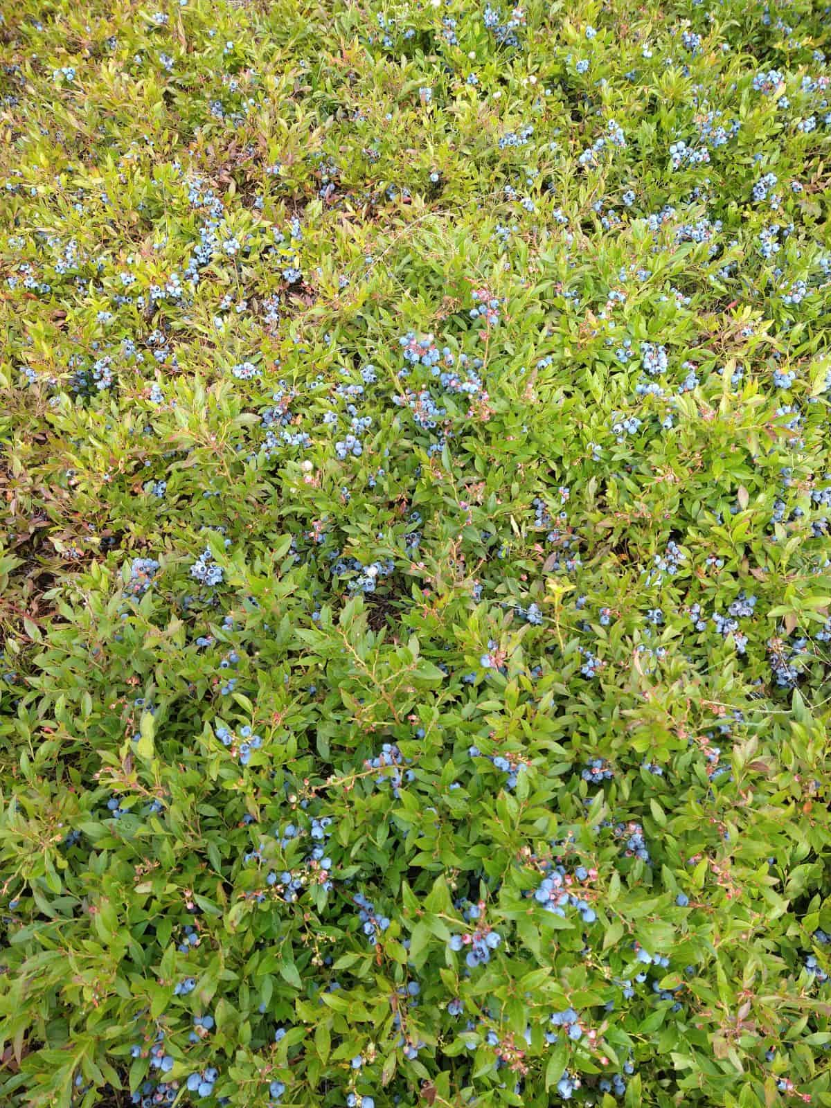 A patch of wild blueberries that is full of berries that are ready to be picked. The bushes are very low to the ground.
