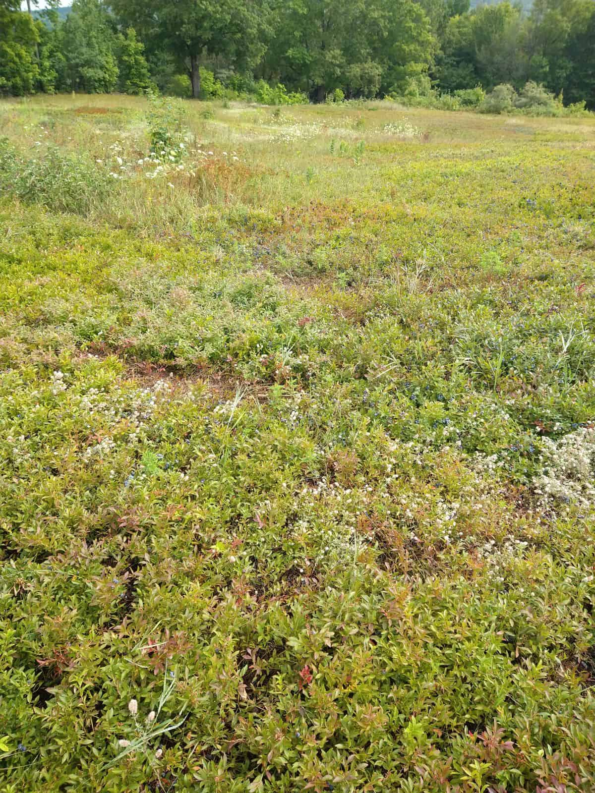 A large field with some trees in the background. The field is full of low wild blueberry plants with some weeds intermixed.