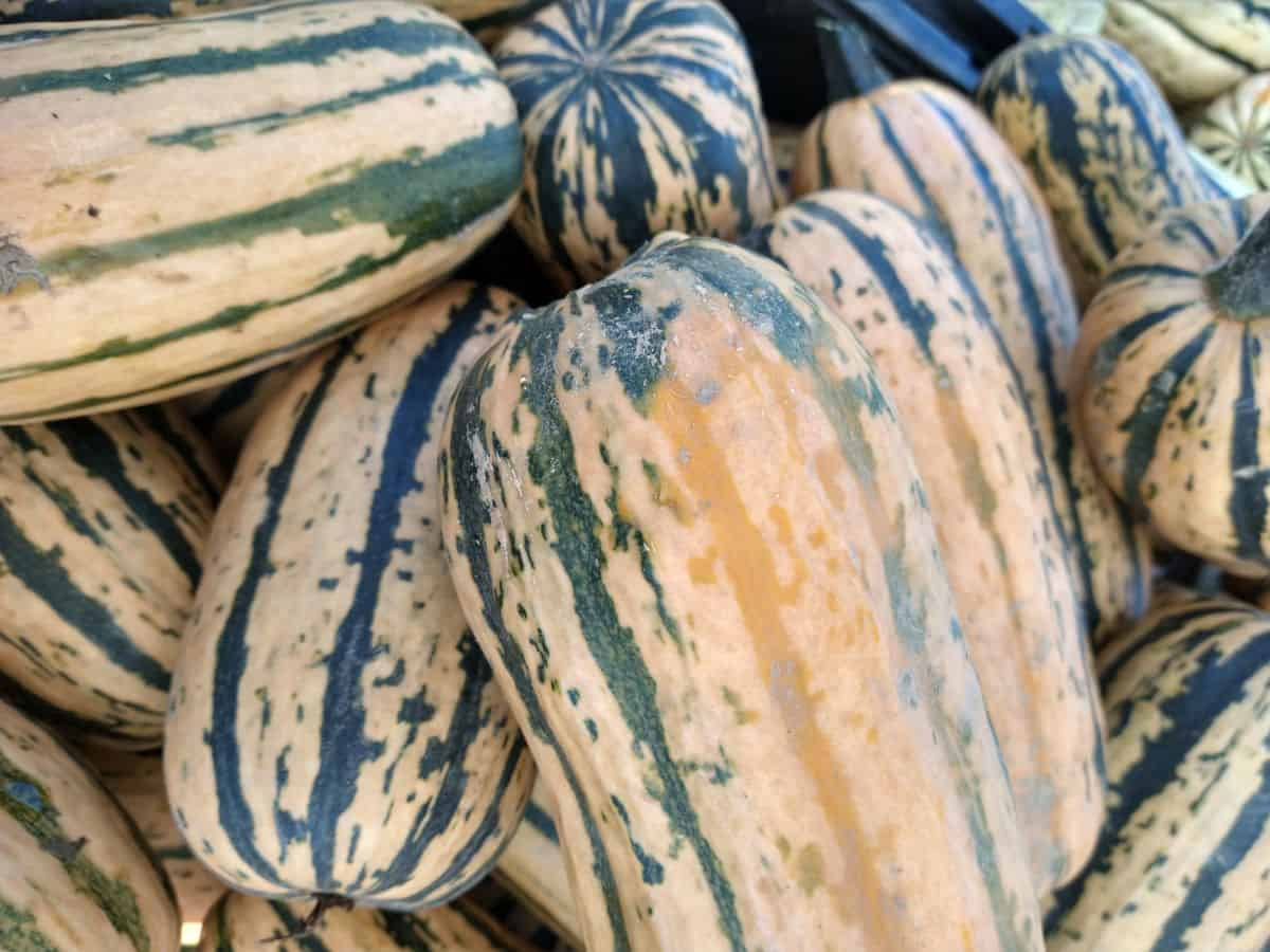 Darker honey boat delicata squash that is a more of a brown mustard color with green stripes and some spots.