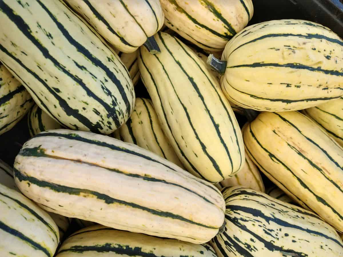 A pile of yellow Delicata squash with green strips and some green spots.